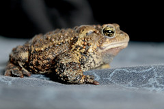 _MG_5191 (Oksanna Briere) Tags: frog toad bufo bufonidae american domestic