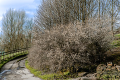 The Blackthorn bush (pollylew) Tags: spring springblossom blackthorn lane