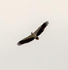 White Bellied Sea Eagle 7 (PDKImages) Tags: sri lanka wildlife nature outdoors animals srilanka eagle bird flight whitebelliedseaeagle raptor birdofprey