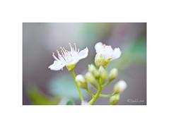 Endrino o ciruelo borde, (Prunus spinosa). (EFD-fotolab) Tags: petalos efdfotolab nikkor105mm nikond610 nikon naturaleza blanco flowers flores floressilvestres españa primavera2019 prunusspinosa endrino cirueloborde