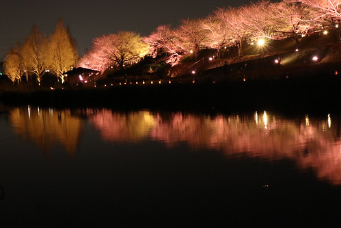 Night cherry blossom fest