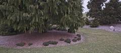 Juniperus sabina 'Blue Forest', 2019 photo (F. D. Richards) Tags: harpercollectionofraredwarfconifers hiddenlakegardens tiptonmi hri bedi michigan usa