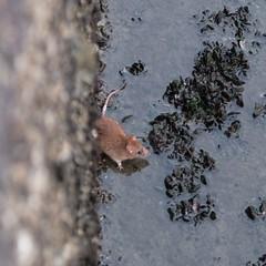 Rat (theq629) Tags: taiwan tamsui animal rat