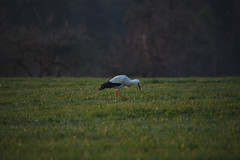 DSC_3435 (d90-fan) Tags: storch schwarzwald calw 2019 frühling wiese natur vogel zugvogel nordschwarzwald nikon d750 nikond750