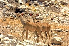 Kudu @ Olifantsbad (cb dg photo) Tags: antelope safari olifantsbad waterhole vacation desert travel namibia africa etoshanationalpark etosha wildlifephotography wildlife animal kudu