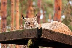 Luchs (hudsonleipzig80) Tags: wildlife outdoor nature natur naturephotography wildpark brandenburg tiere animals animal canon canoneos1200d eos1200d tamronsp70300 winter luchs
