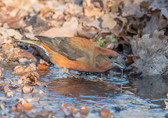 DSC2706  Crossbill.. (Jeff Lack Wildlife&Nature) Tags: crossbill crossbills birds avian animal animals wildlife wildbirds woodlands forest trees countryside conifer pineforest pines water wildlifephotography jefflackphotography farmland forestofdean songbirds nature