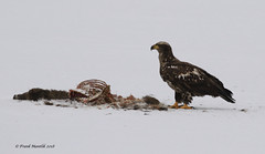 Bald Eagle with White-tailed Deer carcass (Frank Mantlik) Tags: adirondackpark baldeagle carrion haliaeetusleucocephalus newyork predator whitetaileddeer