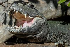 African Dwarf Crocodile (Bob Worthington Photography) Tags: zoo122918 sandiegozoo canon7dmarkii canon70200f28lisii