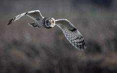 Short-eared Owl (Steve D'Cruze) Tags: shorteared owl asio flammeus woodcock nikon d500 sigma sefton merseyside