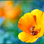 Winter Poppies thumbnail