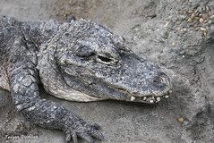 234A1371.jpg (Mark Dumont) Tags: teagan zoo chinese dumont alligator cincinnati