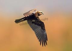 110625536 (TARIQ HAMEED SULEMANI) Tags: sulemani tariq tourism trekking tariqhameedsulemani winter wildlife wild birds nature nikon