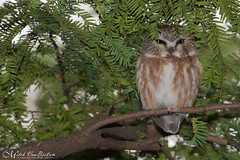 Northern Saw-Whet Owl (Explored) (Mitch Vanbeekum Photography) Tags: sawwhet owl northernsawwhetowl aegoliusacadicus perched tree newyork ny mitchvanbeekum mitchvanbeekumcom canoneos1dx canon100400mm saw whet small green branch