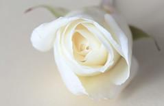 A Delicate Withe Rose (pasquale di marzo) Tags: interno colore flower fiore rosa bianca delicata macro gennaio 2019