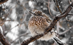 Winter (Kerstin Winters Photography) Tags: baum tree winter schnee snow sigma nikondsl nikondigital nikon photography fotografie flickrnature outdoor vogel bird albuquerque sandiaheights roadrunner animal closeup macro flickr natur nature naturephotography naturfotografie