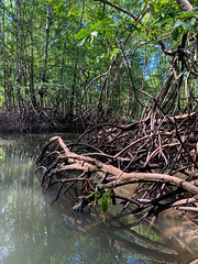 Mangroves (wwarby) Tags: centralamerica costarica damasisland abroad brackish holiday holiday2018costarica mangrove nocc outdoors plant river tree vacation water