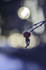 Rose hip (Alida Jansson) Tags: laowa 60mm f28 2x ultra macro rosehip nature