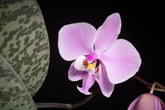 [Mindoro, Philippines] Phalaenopsis schilleriana '#180501' Rchb.f., Hamburger Garten- Blumenzeitung 16: 115 (1860)