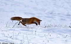 La signora in rosso (silvano fabris) Tags: canon wildlifephotography photonature faunaalpina animals animaliselvatici volpe fox