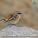 Rufous-backed Redstart (Phoenicurus erythronotus)