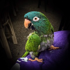 Posing Parrot (prsavagec) Tags: birds feathers feather colorful bird parrot green blue orange