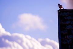 (Steh Monteiro) Tags: sky céu blue azul purple roxo lilás colorful colorido cor color cloud clouds nuvem nuvens bird pássaro roof telhado rest descansando nikond3300 nikon d3300 300mm animal beauty beleza nature natureza