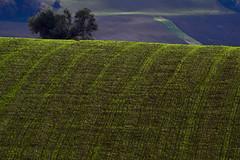 green (luporosso) Tags: natura nature naturaleza naturalmente nikond500 nikonitalia campagna campi distesaerbosa scorcio scorci country countryside colline collina hills hill erba albero tree marche italia italy