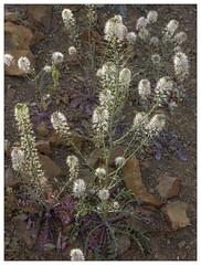 Thelypodium texanum (AnEyeForTexas) Tags: texasthelypody thelypodiumtexanum endemics chihuahuandesert presidiocoujnty brewstercounty bigbend threatened