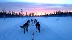 en piste pour une belle semaine ! (Save planet Earth !) Tags: finland chiens animal traîneaux neige ciel amcc laponie winter hiver snow