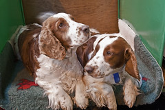 Diary_2016_031 (evinrisca) Tags: crufts welsh springer spaniel dogshow wsscsw