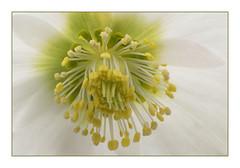 Herz einer Christrose - Heart of an helleborn (heinrich.hehl) Tags: natur flora blüte blume christrose makro macro helleborn flower blossom nature