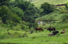 Mergulhada na paisagem (Márcia Valle) Tags: roça verde green juizdefora minasgerais brazil brasil zonarural rurallandscape paisagemrural márciavalle nikon d5100 verão summertime tropicallandscape casa house gado cattle bois
