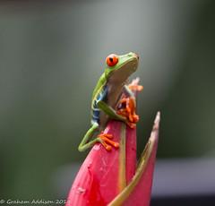 Red Eyed Leaf Frog (grahamaddison240) Tags: frog leaf costarica