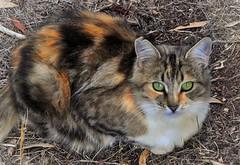 Friday's Feral (holly hop) Tags: cat kitty feral feline wild camouflage tortoiseshell 100x calicocat tabby