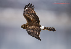 Female Northern Harrier (Fly to Water) Tags: northern harrier hawk female adult circus hudsonius marsh hen flight avian bird photography wild wildlife outdoors utah nikon d850 600mm f4 fl overcast
