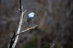 _M4_6293.jpg (rdelonga) Tags: egrettathula snowyegret