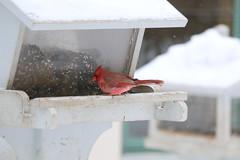 066. Cardinal (Misty Garrick) Tags: arboretum universityofminnesotalandscapearboretum landscapearboretum flowershow bird birds birding