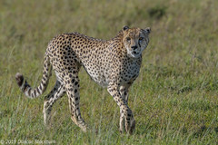 Out and about.... (Duncan Blackburn) Tags: 2019 cat kenya masaimara cheetah mammal nikon nature wildlife
