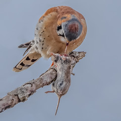 American Kestrel (Kevin E Fox) Tags: americankestrel kestrel falcon newbritain peacevalley peacevalleypark pennsylvania raptor bird birding birdwatching birds sigma150600sport sigma nature nikond500 nikon
