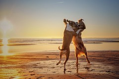 2/12 Edgar & Albert, dancers at sunrise (Jutta Bauer) Tags: d sunrise morninglight morning beach pitboxermix pitbullmix goldenretriever dogs edgaralbert 12monthsforedgarandalbert 12monthsfordogs