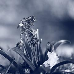 Blue Stars (Pascal Volk) Tags: crazytuesday blue natur nature naturaleza pflanze plant planta blume flower flor blüte blossom bloom floral flowerpower canoneos80d kmzhelios442258 ге́лиос m42 58mm