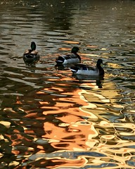 The golden hour approaches        (Explore) (Parowan496) Tags: golden hour approaching ducks pond canon eos 80d ef28135mm f3556 is usm canoneos80def28135mmf3556isusm waterscape nature
