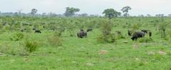 African Buffaloes (Syncerus caffer) (berniedup) Tags: phabeni kruger africanbuffalo synceruscaffer buffalo taxonomy:binomial=synceruscaffer landscape