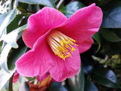 Flowers of Paradise (Serene Mountain) Tags: bush yellow macro pink pinks bushes green darkgreen garden
