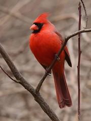 Cardinal, Cardinalis cardinalis, Male (18) (Herman Giethoorn) Tags: cardinal red bird