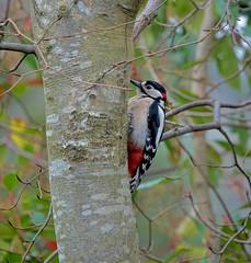 The Male (Deepgreen2009) Tags: greatspottedwoodpecker male tree trunk watching wildlife bird garden home