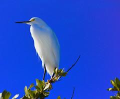 Looking forward to Spring Birds (karanjensen) Tags: egret florida floridabirds sanibel spring southwestflorida birds beachbirds egrettathula snowyegret sanibelisland usa nature bird