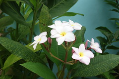 plumeria blossoms (the foreign photographer - ฝรั่งถ่) Tags: plumeria frangipani blossoms tree leaves bangkhen bangkok thailand sony rx100