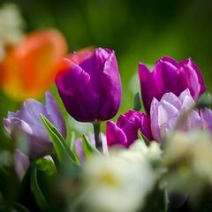 Colorful tulips 💐☀️ (Martin Bärtges) Tags: natur nature naturephotography naturfotografie blossoms blüten blumen flowers frühjahr frühling spring nikonphotography nikonfotografie d7000 nikon outstanding outside outdoor drausen farbenfroh colorful tulpen tulips